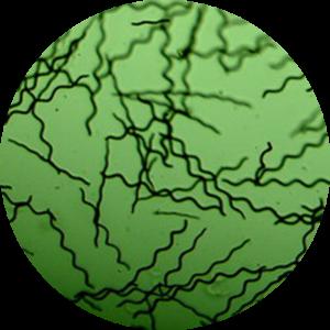 La spiruline Alg&You